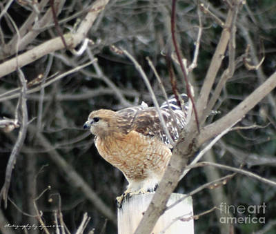 Photograph - Red Tail Hawk Getting Ready To Takeoff by Gena Weiser