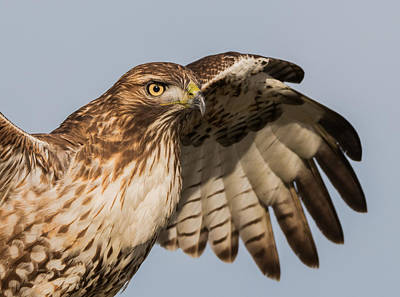 Red Tail Hawks Photograph - Red Tail Hawk Has Arrived by Angie Vogel