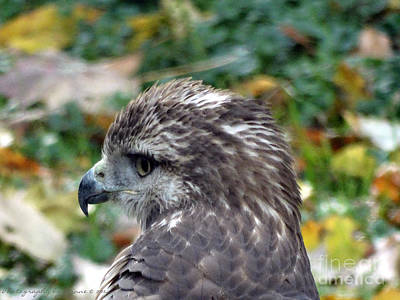 Photograph - Red Tail Hawk Head Shot by Gena Weiser