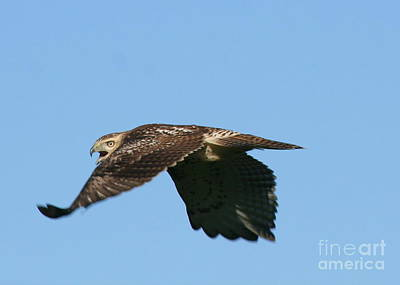 Photograph - Red-tail Hawk In Flight  by Neal Eslinger