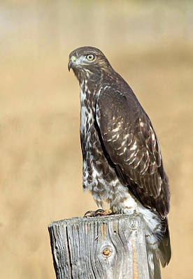 Photograph - Red Tail Hawk by Jack Bell