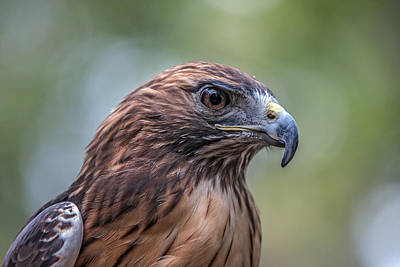 Red Tail Hawk Art Print by John Haldane