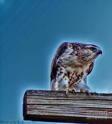 Photograph - Red Tail Hawk Launching by Gena Weiser