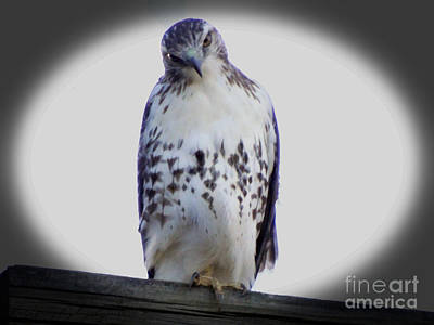 Photograph - Red Tail Hawk Looking Curious by Gena Weiser
