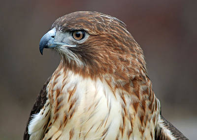 Photograph - Red Tail Hawk Profile by Richard Bryce and Family