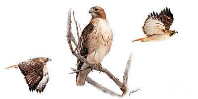Red Tail Hawk Series Art Print