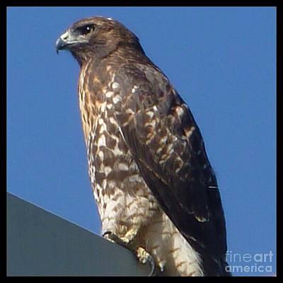 Photograph - Red Tail Hawk  by Susan Garren