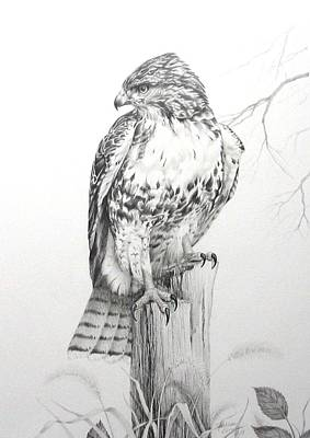 Red Tail Hawks Drawing - Red Tail Hawk by Teresa Einsig