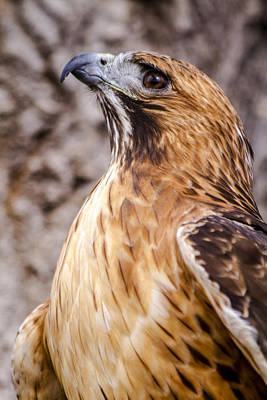 Photograph - Red Tail Hawk by Teri Virbickis