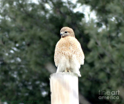 Photograph - Red Tail Hawk Waiting On A Pole by Gena Weiser