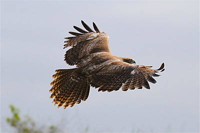 Red Tail Take Off Art Print by Paul Marto
