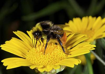 Feeding Photograph - Red-tailed Bumblebee Feeding On A Flower by Bob Gibbons