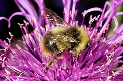 Red-tailed Bumblebee On Knapweed Art Print