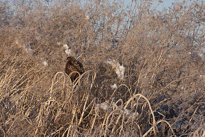 Photograph - Red Tailed Hawk - Immature - 0030 by S and S Photo