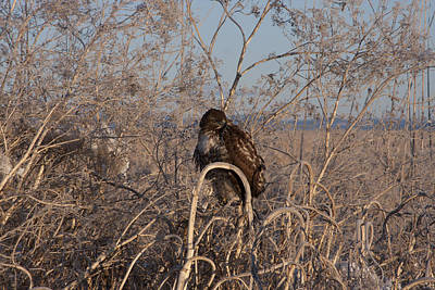 Photograph - Red Tailed Hawk - Immature - 0035 by S and S Photo