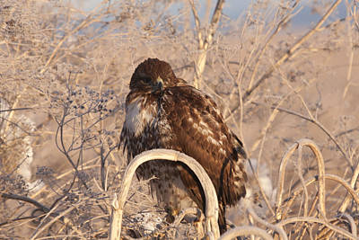 Photograph - Red Tailed Hawk - Immature - 0037 by S and S Photo