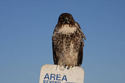 Photograph - Red Tailed Hawk - Immature - 0038 by S and S Photo