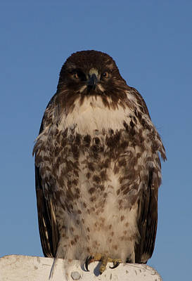 Photograph - Red Tailed Hawk - Immature - 0039 by S and S Photo