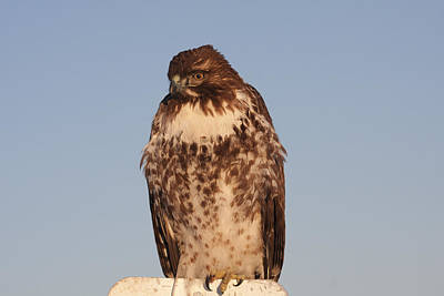 Photograph - Red Tailed Hawk - Immature - 0040 by S and S Photo