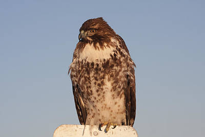 Photograph - Red Tailed Hawk - Immature - 0041 by S and S Photo