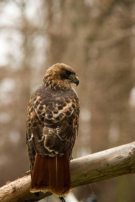 Red Tail Hawk Photograph - Red Tailed Hawk 2 by Douglas Barnett