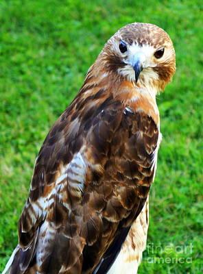 Photograph - Red-tailed Hawk 2 by Rachel Munoz Striggow