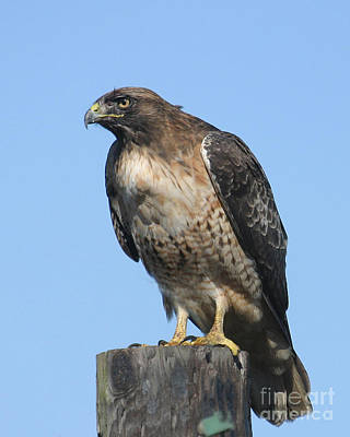 Photograph - Red-tailed Hawk Monterey California  2008 by California Views Archives Mr Pat Hathaway Archives