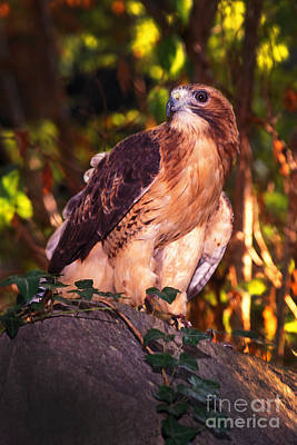 Photograph - Red Tailed Hawk - 53 by Paul W Faust -  Impressions of Light