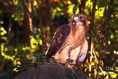 Red Tail Hawk Photograph - Red Tailed Hawk - 54 by Paul W Faust -  Impressions of Light