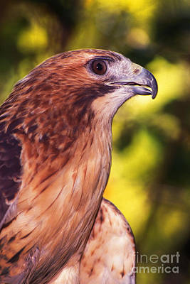 Photograph - Red Tailed Hawk - 59 by Paul W Faust -  Impressions of Light