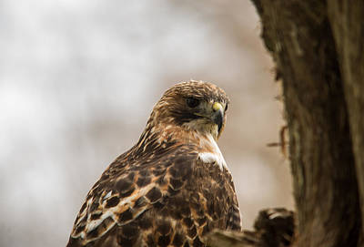 Red Tail Hawk Photograph - Red Tailed Hawk 7 by Douglas Barnett
