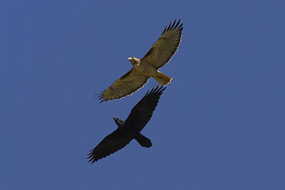 Red Tail Hawks Photograph - Red-tailed Hawk And Common Raven Flying by San Diego Zoo