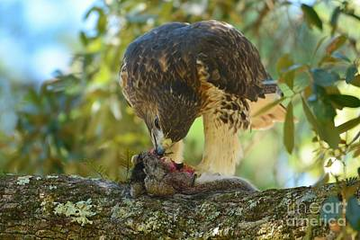 Photograph - Red Tailed Hawk And Prey by Kathy Baccari