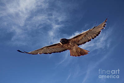 Red Tail Hawks Photograph - Red Tailed Hawk by Bob Hislop