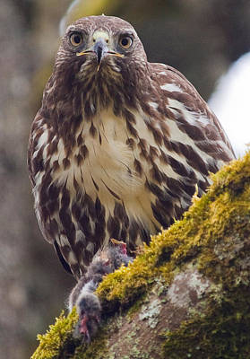 Photograph - Red Tailed Hawk - Breakfast Close Up by Elaine Snyder