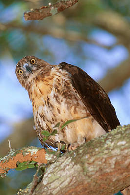 Red Tail Hawk Photograph - Red-tailed Hawk Buteo Jamaicensis by Millard H. Sharp