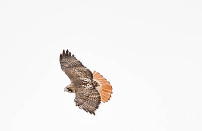 Photograph - Red Tailed Hawk by Cheryl Baxter