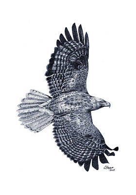 Red Tail Hawks Drawing - Red Tailed Hawk by Colin Hayes