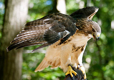 Photograph - Red Tailed Hawk Color Photo by Femina Photo Art By Maggie