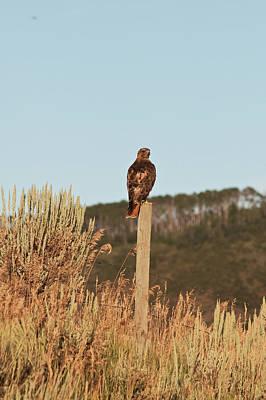 Red Tailed Hawk Original