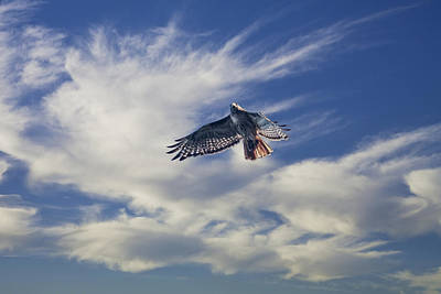 Red Tail Hawk Photograph - Red Tailed Hawk Hovering In The Sky by Randall Nyhof