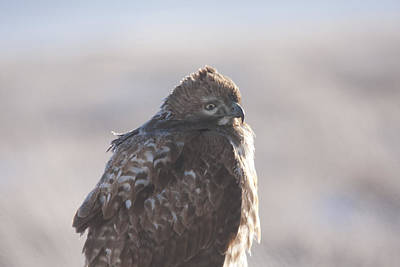 Photograph - Red Tailed Hawk - Immature - 0047 by S and S Photo