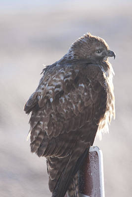 Photograph - Red Tailed Hawk - Immature - 0048 by S and S Photo