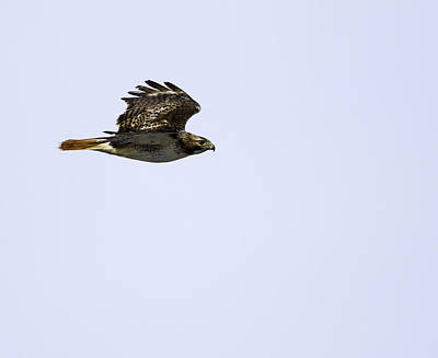 Red-tailed Hawk In Flight 1 Art Print
