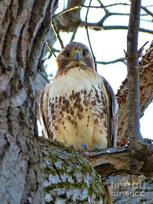Coy Fish Michael Creese Paintings - Red Tailed Hawk in Tree Portrait  by Christine Stack