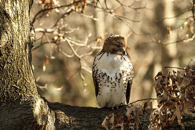 Photograph - Red-tailed Hawk by Jack R Perry