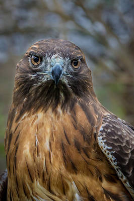 Photograph - Red Tailed Hawk by James Woody