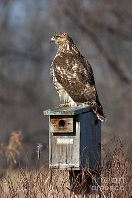 Photograph - Red-tailed Hawk by Jeannette Hunt