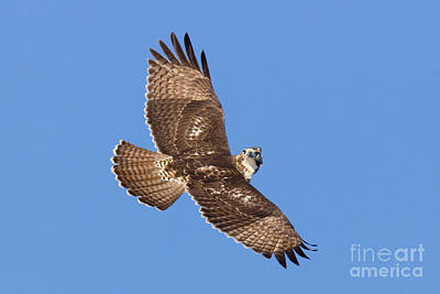 Us Wildllife Photograph - Red-tailed Hawk by Jim Zipp