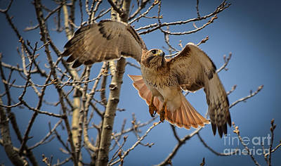 Photograph - Red Tailed Hawk by Julie Palencia